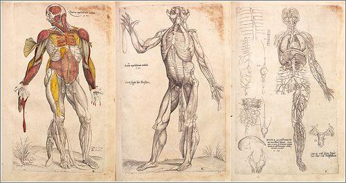 Dibujos anatómicos de Andrés Vesalio